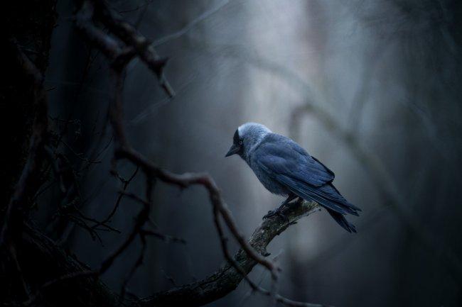 Синий ворон на ветке