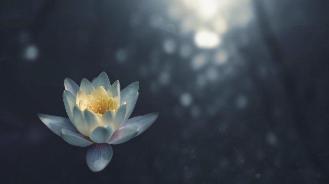 Цветок лотоса на воде