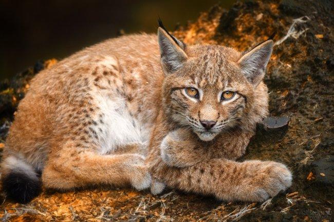 Рысь-кошка