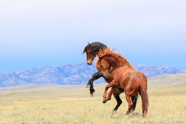 Две лошади на задних ногах
