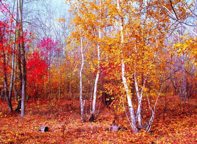 Осенний березовый лес