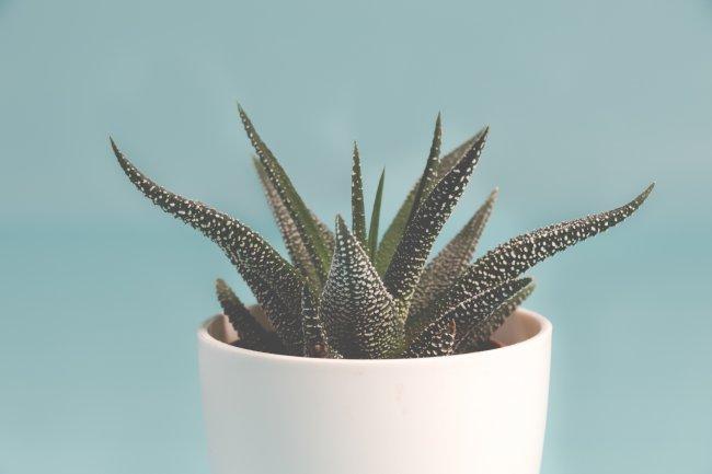 Комнатное растение Хавортия