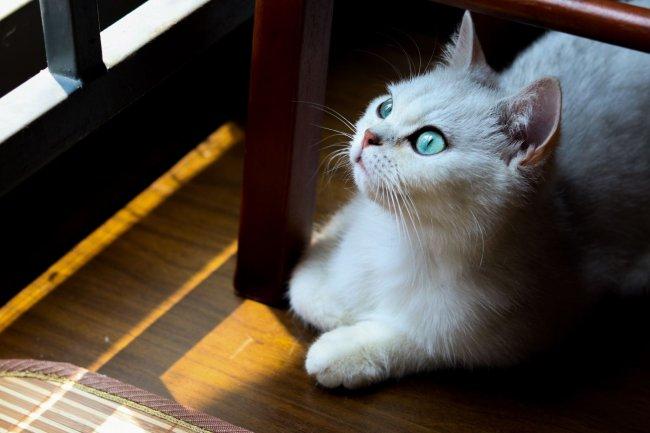 Былая с голубыми глазами кошка на полу