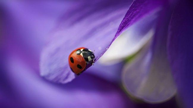 Божья коровка на лепестке фиолетового цветка