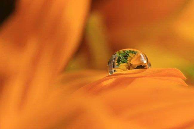 Капля росы на оранжевом цветке