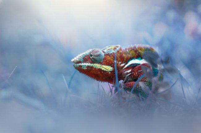 Хамелеон в траве