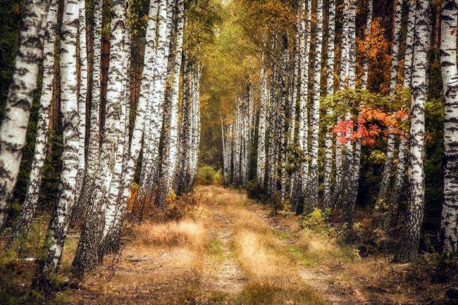 Дорога через осеннюю березовую рощу