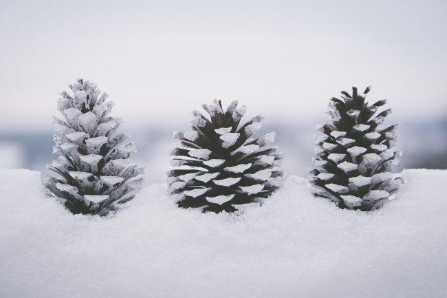 Сосновые шишки в снегу