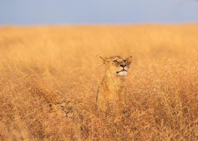 Львенок в национальном парке Серенгети