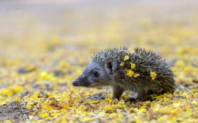 Маленький ежик в осенних листьях