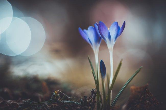 Голубые крокусы на размытом фоне