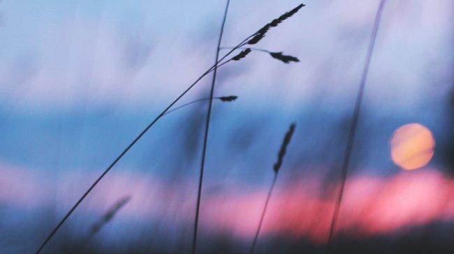 Колосья травы на размытом фоне
