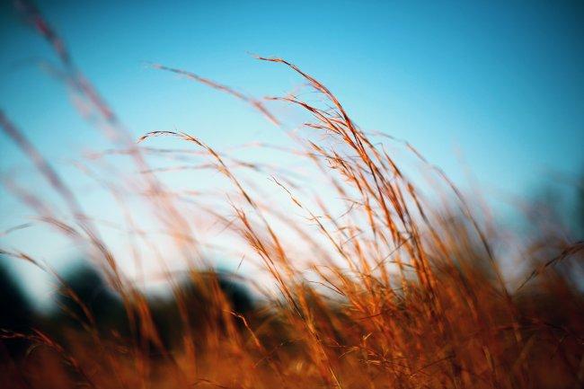 Колосья травы колышутся на ветру