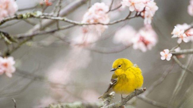 Желтая камышевка на цветущем дереве