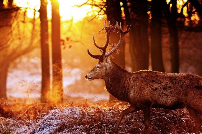 Олень в осеннем лесу на закате