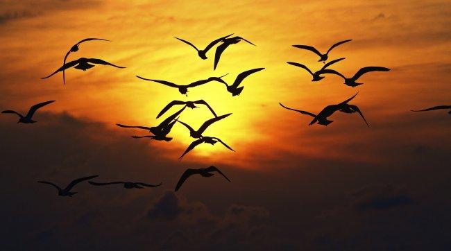 Силуэт летающих чаек на закате