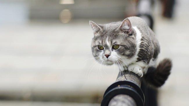 Дымчато-белый кот на перилах