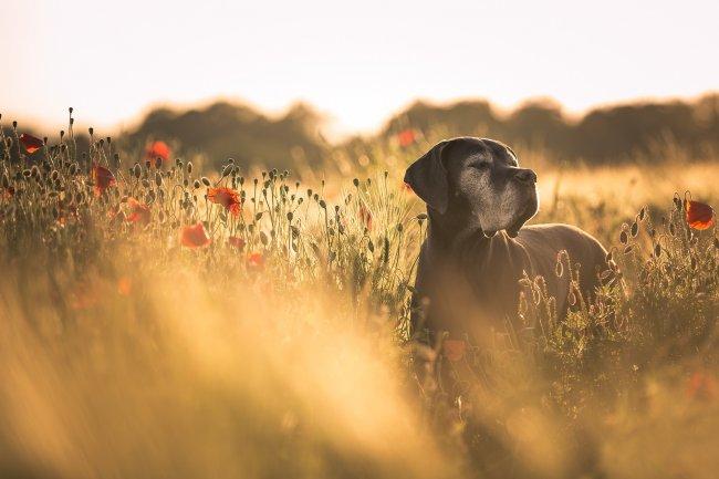 Собака в поле цветов и хлебных колосьев