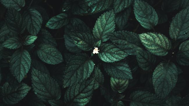 Травянистое растение Гемиграфис