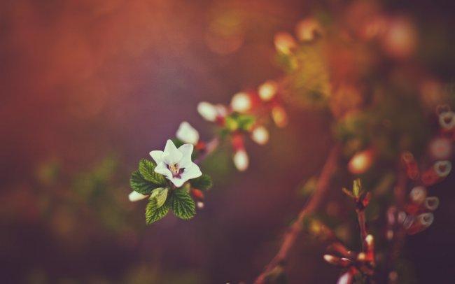 Цветущая войлочная вишня