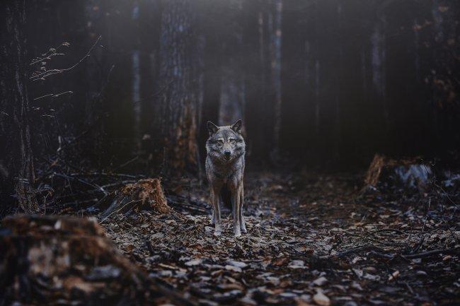 Волк в сумеречном лесу