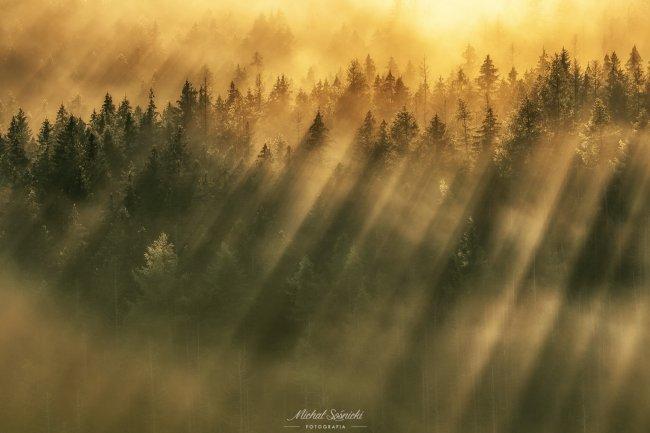 Густой сосновый лес в утреннем тумане