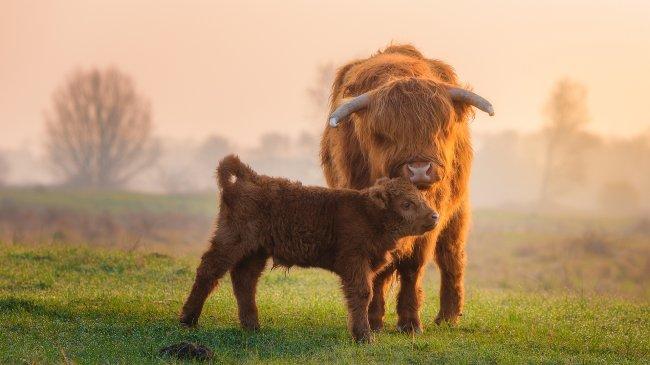 Шотландская порода коров Хайленд