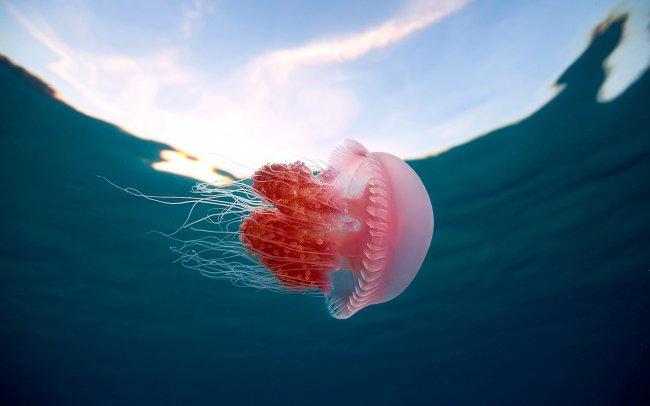 Плавающая розовая медуза