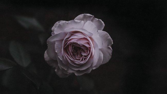 Бледно розовая роза на темном фоне