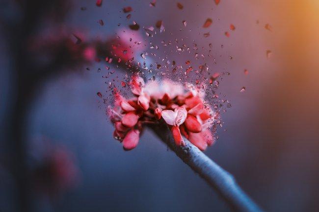 Вишня в цвету